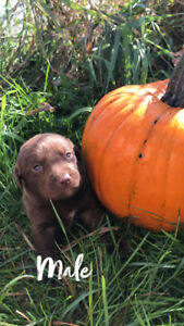 1 Labrador retriever puppy left ready to go October 19th