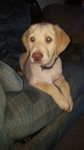 Purebred yellow lab puppy. *MALE NOW $950*