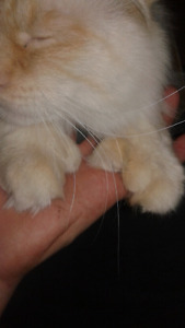 Polydactyl Flame-Point Siamese