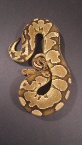 Male Proven Breeder Ball Pythons