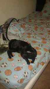 Exotic Bombay Kitten London Ontario image 2