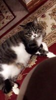 Lost Brown & White Cat