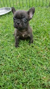 French bulldog puppies pedigree
