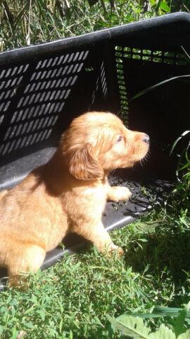 Golden Retrievers Dogs Puppies For Rehoming Trenton Kijiji