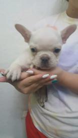 French bulldog pups (2 pups available)