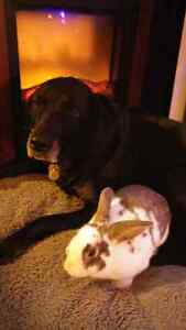 Cuddly 8 month old rabbit +cage and more  Kitchener / Waterloo Kitchener Area image 9