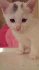 chaton abyssin blanc x male