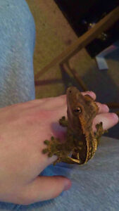 Crested gecko with tank and everything that comes in it