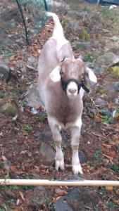Goats in need of new homes NOT FOR MEAT