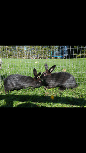 2 male bunnies looking for a good home