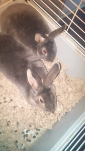 2 female bunnies to rehome