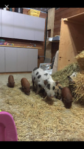 Adorable mini pig piglets