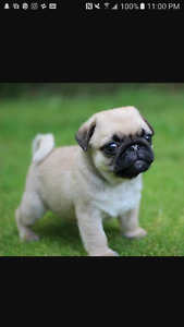 Looking to buy a pug puppy