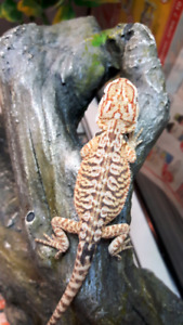 Beautiful speciality morph bearded dragons
