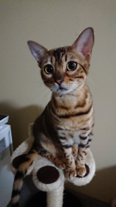 1 year old Purebred Female Bengal for adoption