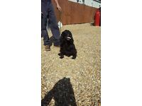 Cocker spaniel girl for sale not suitable for breeders