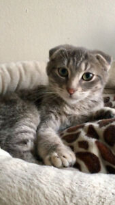 Chaton scottish fold Kitten
