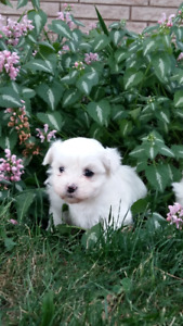 Malshi puppies- only two remaining