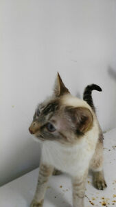 Femelle siamois a donner / female siamse to rehomed