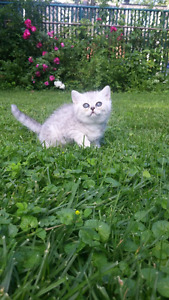Pure breed British Shorthair! Great price!