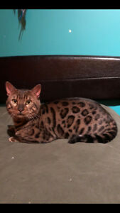 Beautiful PUREBRED  Neutered male Bengal