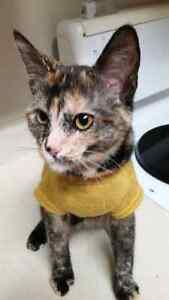 10 week kitten for sale