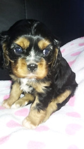 Purebred Cavalier King Charles Spaniel puppies