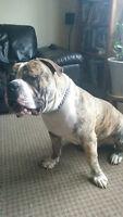 Bulldog Americain / American Bulldog
