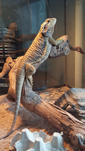 2 BEARDED DRAGONS WITH TANK AND ACCESSORIES