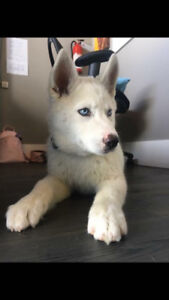 Pure husky looking for new home