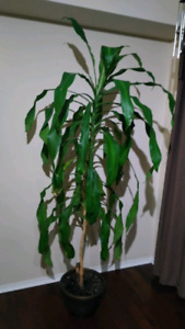 Beautiful Indoor plant for Sale 7ft tall