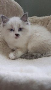 Purebred Blue Mitted Ragdoll kittens