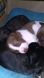 Lab Terrier cross puppies for sale Peterborough Peterborough Area image 5