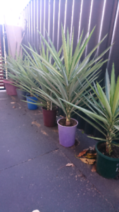 Yucca plants Hamersley Stirling Area Preview