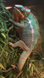 Stunning Male Panther Chameleon