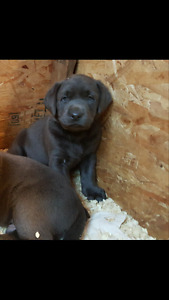 Charcoal female lab puppy ready to go friday