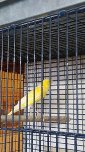 CANARY & CAGES FOR SALE *****