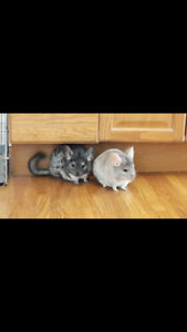 Two Chinchillas-PENDING PICKUP WITH MULTIPE BACKUPS