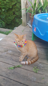 Lost female orange tabby... $200 reward Macatee Pl and Bradbury