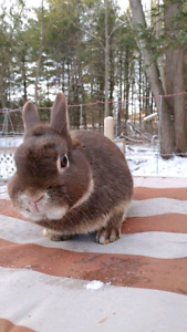 Adorable Netherland dwarf