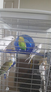 6 budgies, Cage