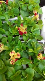 Mimulus plants