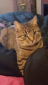 MISSING MALE TABBY  2.5 YRS  NEED YOUR HELP
