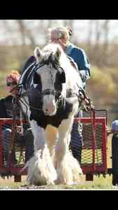 Gypsy Vanner Filly Prince George British Columbia image 4