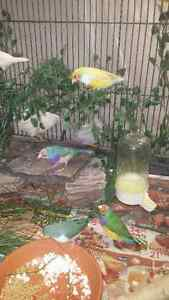Male gouldian finch/finches