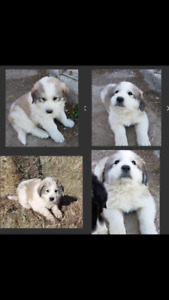 Pure Bred Great Pyrenees pup