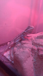 Baby bearded dragon with tanks and everything for 150