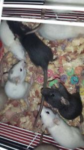 bb rats   à donner animal domestique