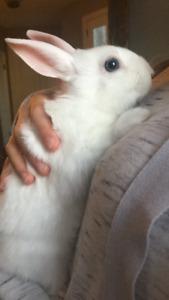 Rabbit baby mini rex  mix blue eyes