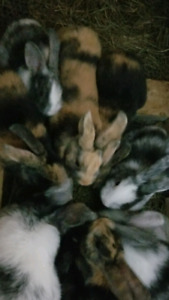 8 week old Harelquin Bunnies - $15 each